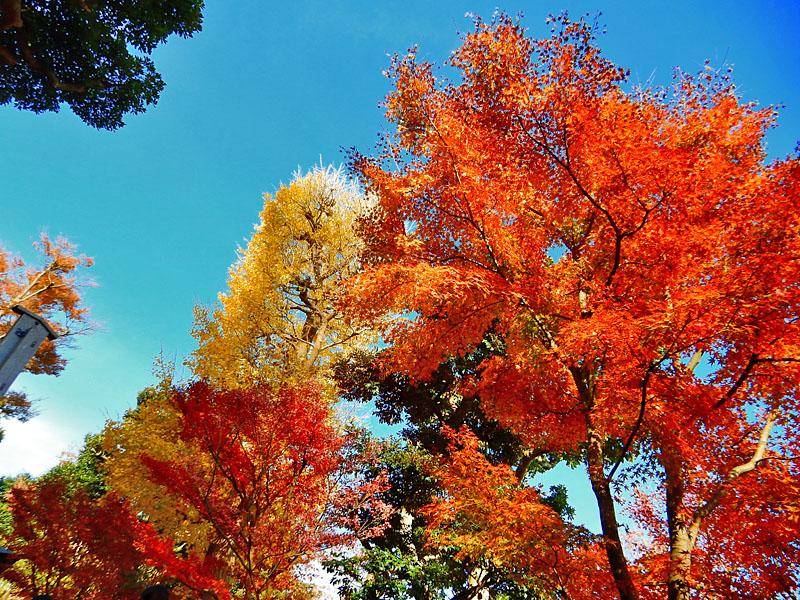 141207鎌倉長谷寺の紅葉3