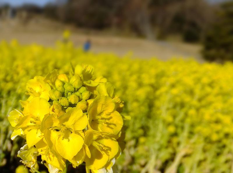 120212観音崎菜の花2