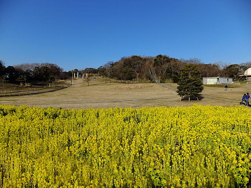 120212観音崎菜の花3+