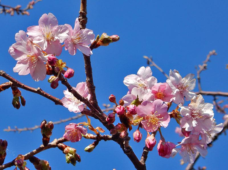 150214河津桜