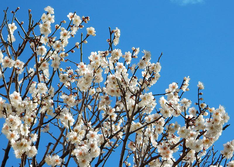 150302梅と桜1