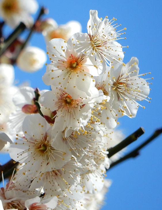 150302梅と桜2