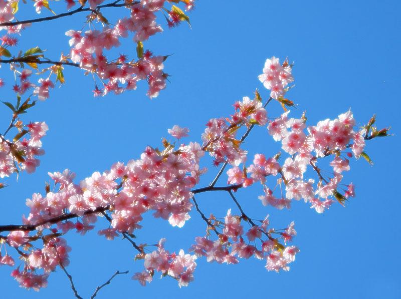 150302梅と桜3