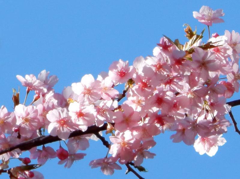 150302梅と桜4