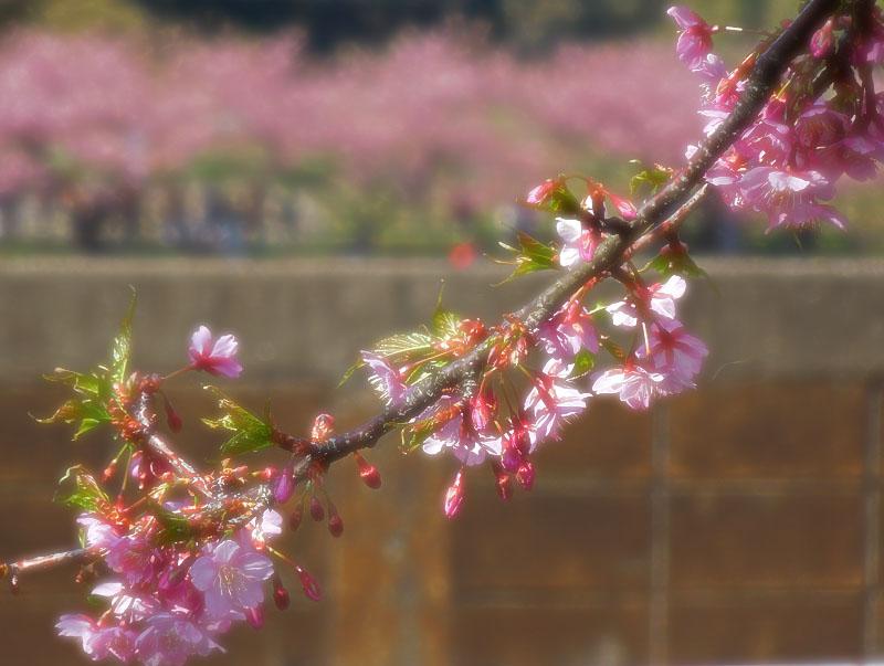 20120321三浦河津桜5
