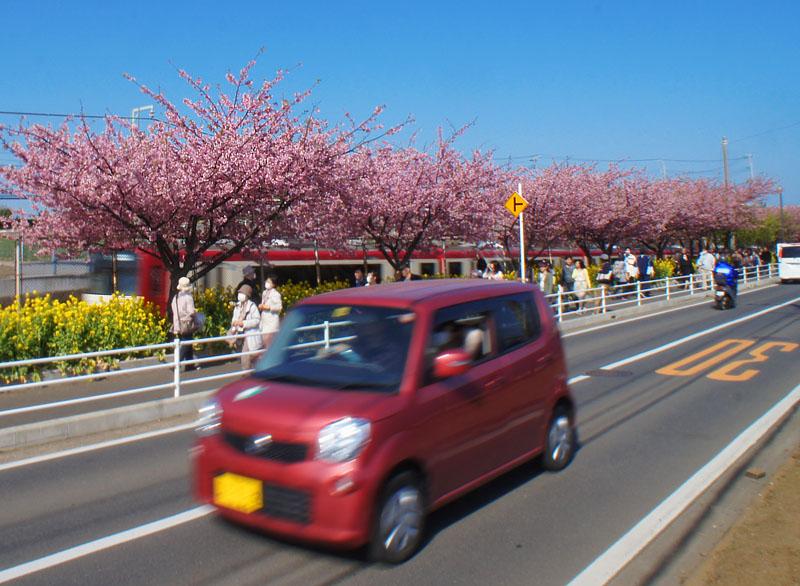 20120321三浦河津桜+2