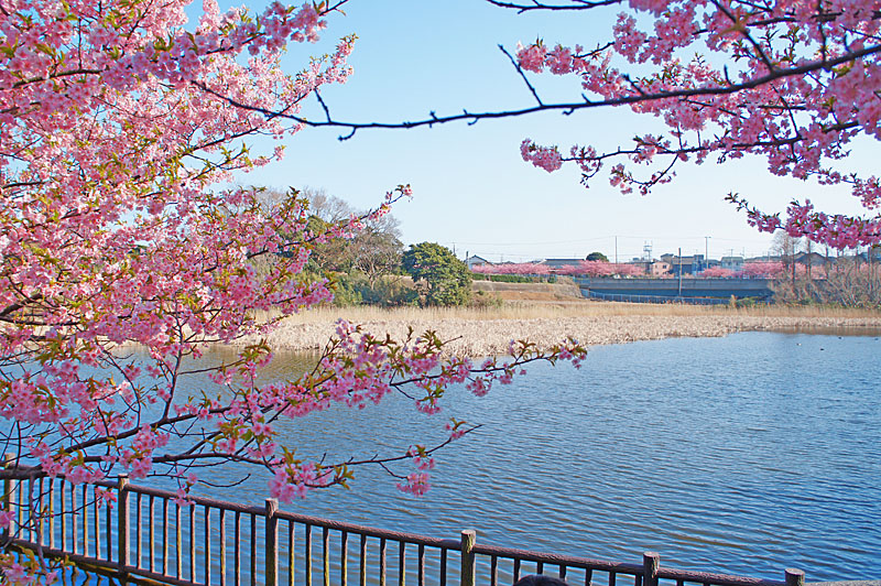 20120321三浦河津桜+3