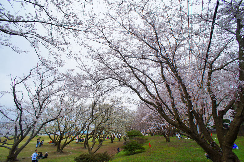 150329走水水源地の桜4