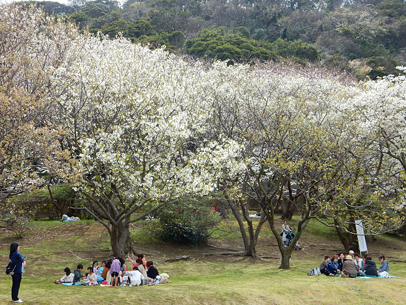 150329走水水源地の桜3