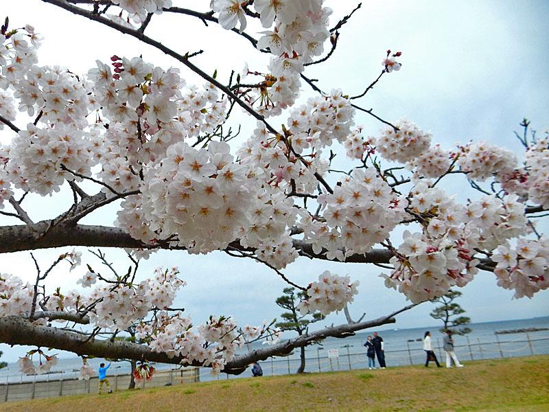 150329走水水源地の桜5