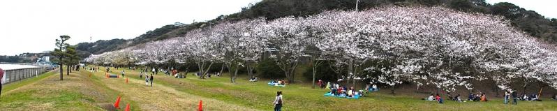 150329走水水源地の桜2