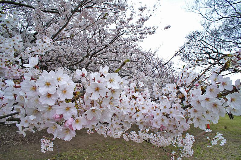150329走水水源地の桜6