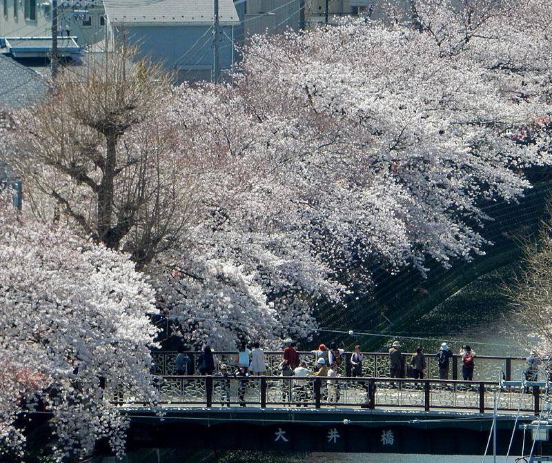 150331大岡川桜2