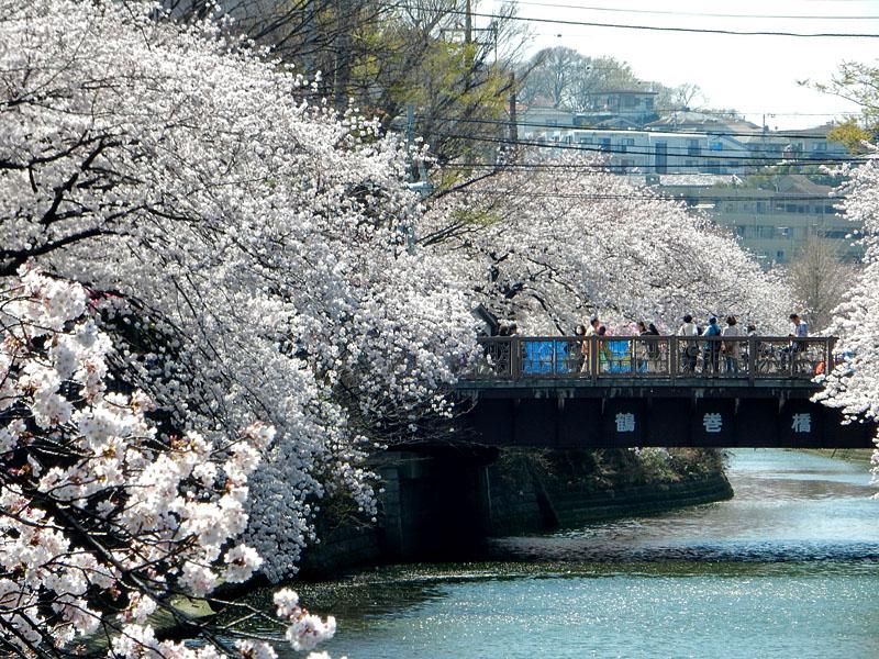 150331大岡川桜3