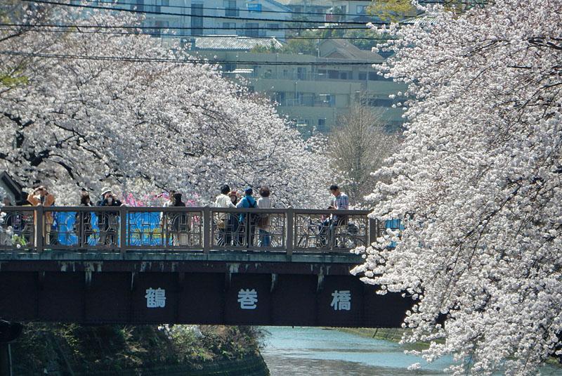 150331大岡川桜4