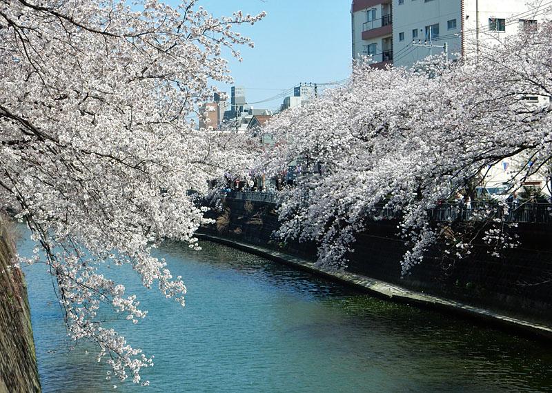 150331大岡川桜5