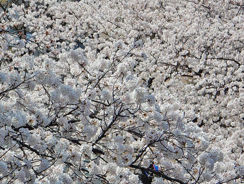 150331大岡川桜6