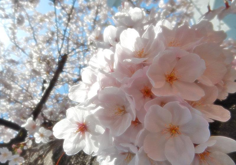 150331大岡川桜7