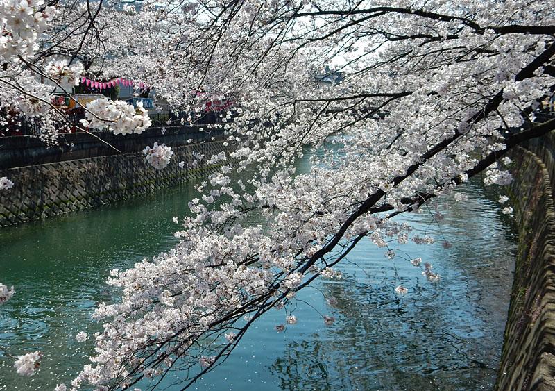 150331大岡川桜8