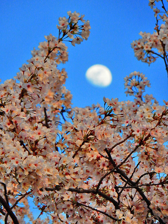 150331大岡川夜桜1