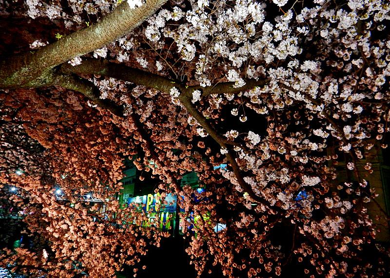 150331大岡川夜桜2