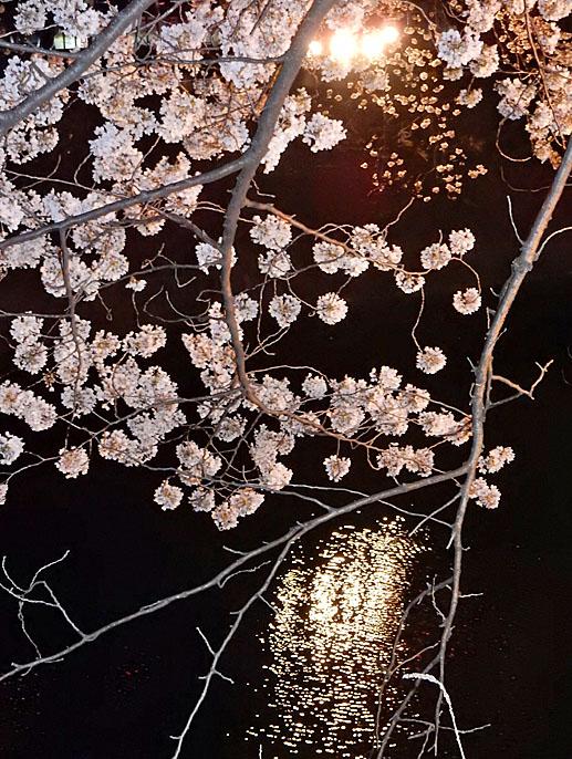 150331大岡川夜桜3