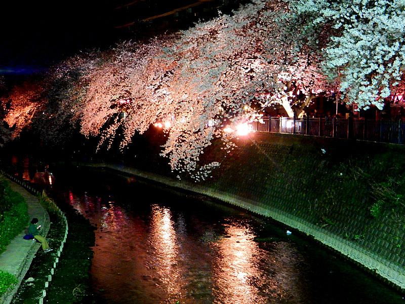 150331大岡川夜桜6