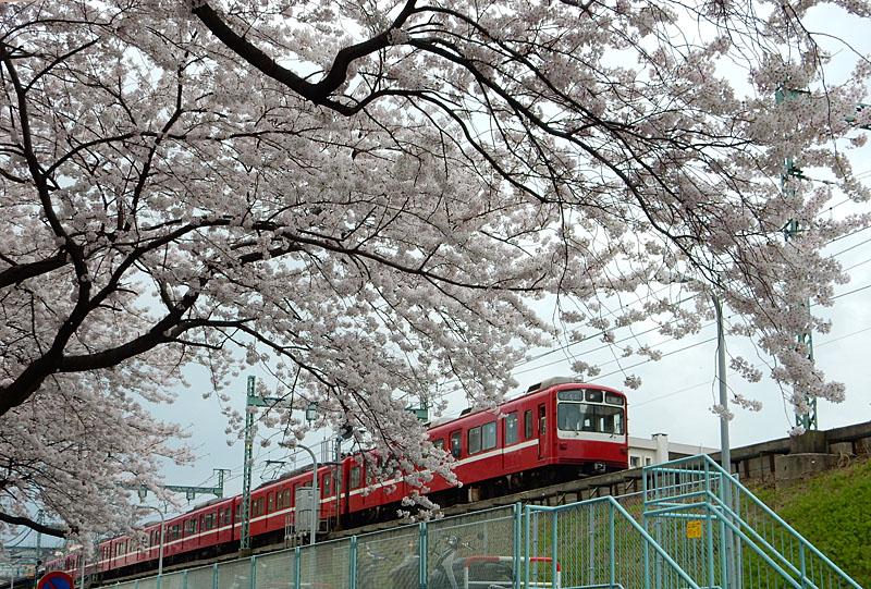 150331京急と桜1
