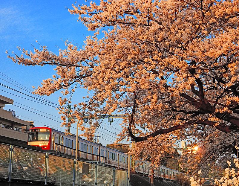 150331京急と桜2