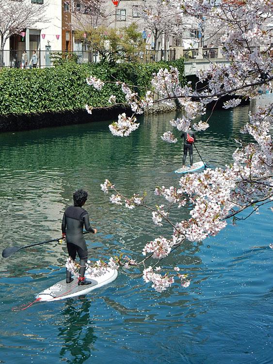 150402桜大岡川をパドボで下る5