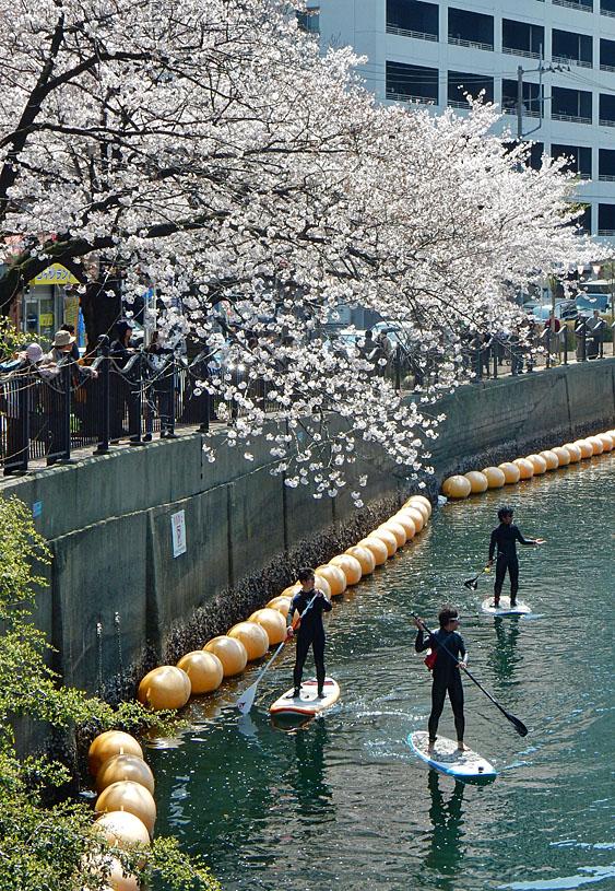150402桜大岡川をパドボで下る3