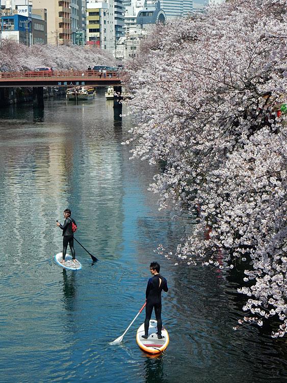 150402桜大岡川をパドボで下る6