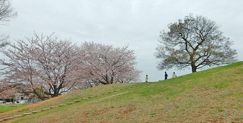 150404榎の丘と桜2
