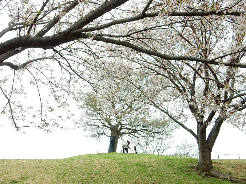 150404榎の丘と桜3