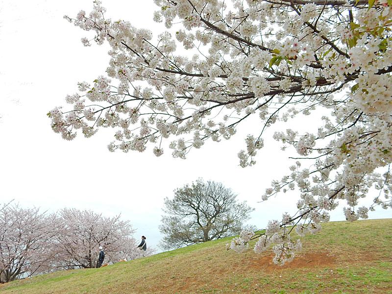 150404榎の丘と桜1