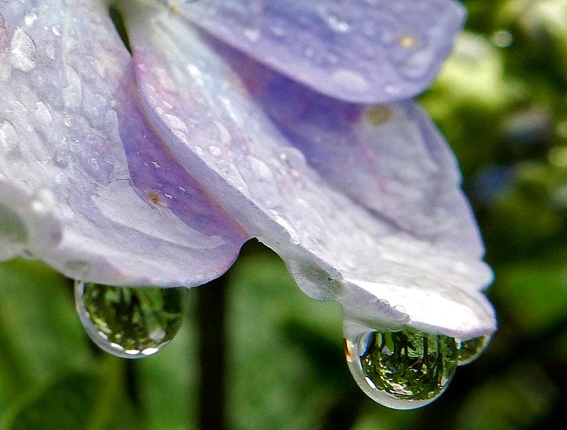 150603花と雨粒5