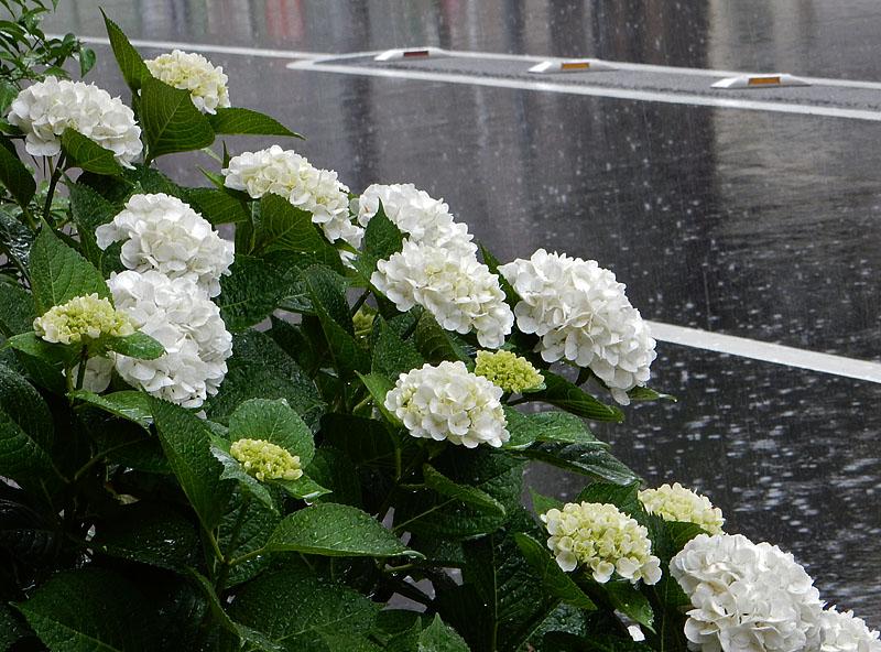 150603花と雨粒8