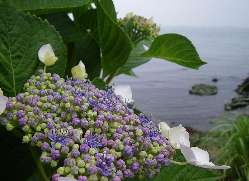 090614海と紫陽花1