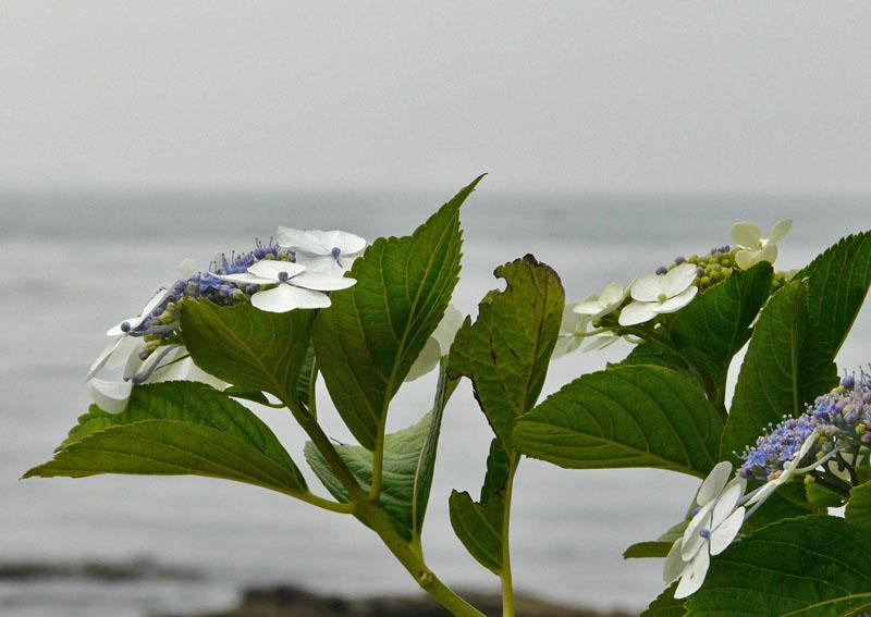 090614海と紫陽花3