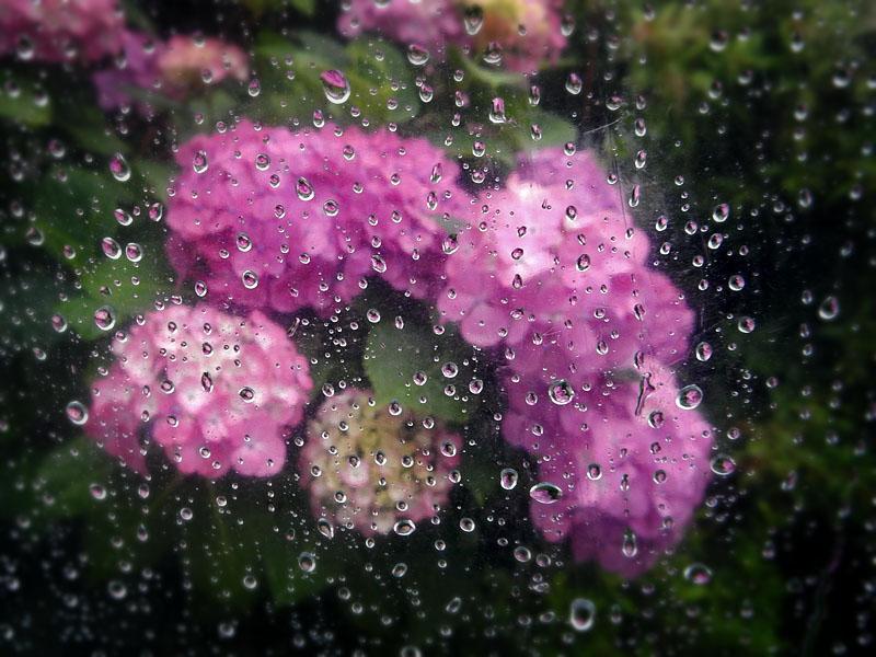 150612ビニール傘越しの紫陽花