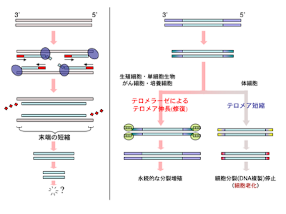 Telomere_scheme.png
