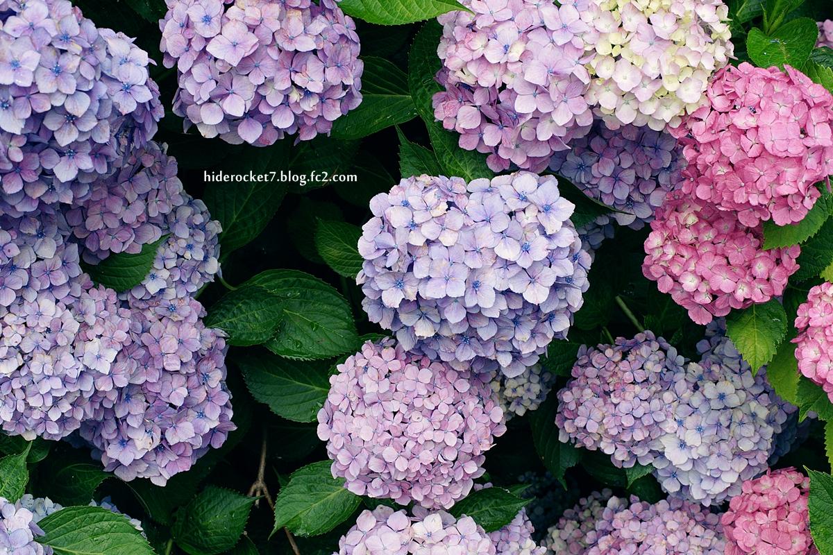 ajisai_2015_55mm_02.jpg