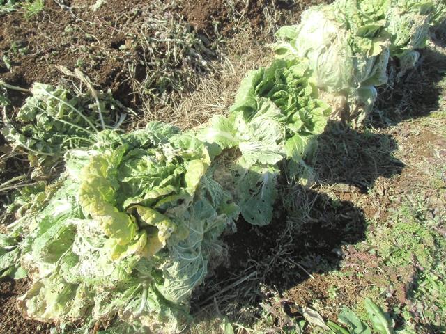 寒さに耐える白菜