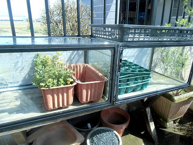 そして水槽は野菜の保育器になった