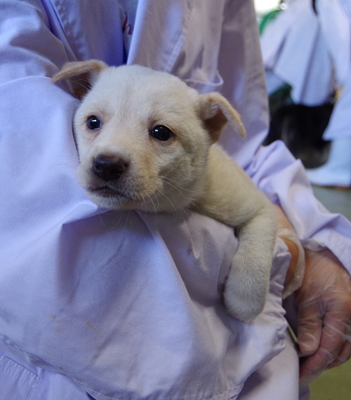 白い子犬4
