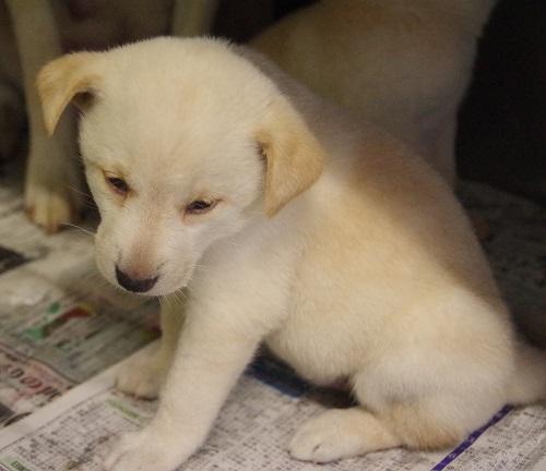 白い子犬3