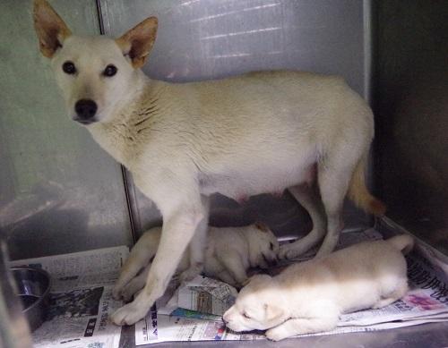白い子犬1