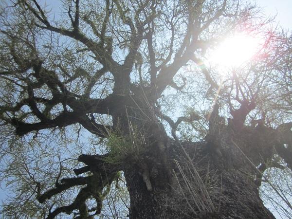樹齢1千年の銀杏