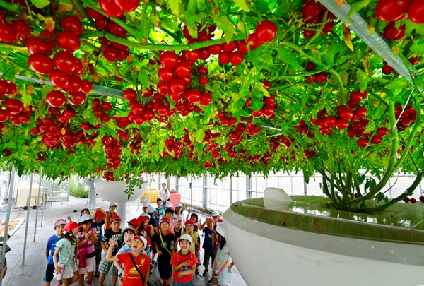 0604高槻市のメーカー「協和」の巨木トマトが話題に