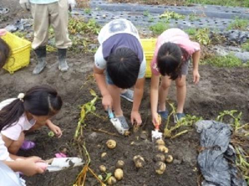 0618芥川農業研究会主催のじゃがいも掘りイベント